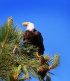 Kaal Eagle in een Pijnboomboom Royalty-vrije Stock Foto's