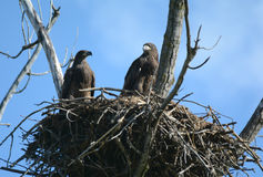 Kaal Eagle Fledglings Atop Their Nest royalty-vrije stock fotografie