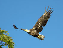 Kaal Eagle In Flight With Tree Stock Afbeelding