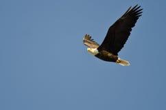 Kaal Eagle Flying in een Blauwe Hemel royalty-vrije stock foto