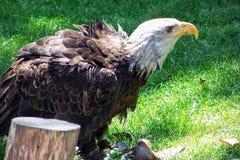Kaal Eagle in Gevangenschap, die van verwonding terugkrijgen royalty-vrije stock fotografie