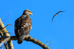 Kaal Eagle (Haliaeetus-leucocephalus) in Brits Colombia, Canad Stock Foto's