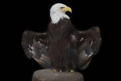 Kaal Eagle - haliaeetusleucocephalus Royalty-vrije Stock Fotografie