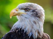 Kaal Eagle Head Royalty-vrije Stock Foto