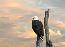 Kaal Eagle Inspiration stock foto