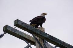 Kaal Eagle in Noord-Amerika royalty-vrije stock foto's