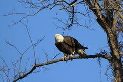 Kaal Eagle ongeveer om vlucht te nemen royalty-vrije stock foto's
