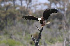 Kaal Eagle - Precisie het Landen stock afbeeldingen