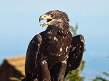 Kaal Eagle in profiel Stock Afbeelding