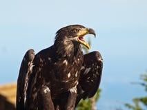 Kaal Eagle in profiel Royalty-vrije Stock Afbeelding