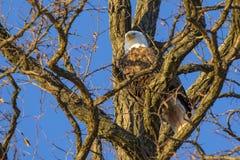 Kaal Eagle Resting in Schaduwrijke Vork van Boom Royalty-vrije Stock Afbeeldingen