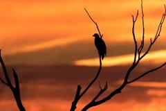 Kaal Eagle in Silhouet Royalty-vrije Stock Fotografie
