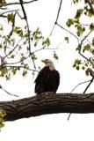 Kaal Eagle streek in een boom met een vis neer Lettende op hieronder mensen muur in de lente royalty-vrije stock fotografie