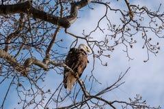 Kaal Eagle streek op een tak met de Lentebloei neer stock afbeelding