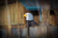 Kaal Eagle, symbool van vrijheid en de V.S. Royalty-vrije Stock Fotografie