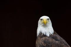 Kaal Eagle tegen een zwarte achtergrond Stock Foto