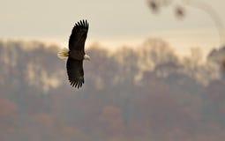 Kaal Eagle tijdens de vlucht Royalty-vrije Stock Foto