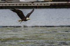 Kaal Eagle tijdens de vlucht, La-Duw, WA Royalty-vrije Stock Afbeelding