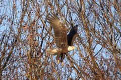 Kaal Eagle tijdens de vlucht met volledig Uitgebreide Vleugels stock foto