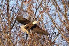 Kaal Eagle tijdens de vlucht vlak na Start stock foto