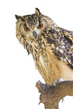 Kaap Eagle Owl Bubo Capensis stock afbeelding