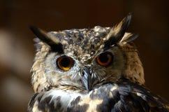 Kaap Eagle-Uil (Bubo-capensis) stock afbeeldingen