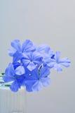 Kaap leadwort, Leadwort Royalty-vrije Stock Foto