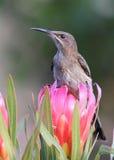 Kaap Sugarbird royalty-vrije stock afbeeldingen