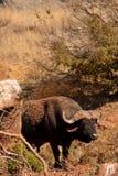 Kaapbuffels 1 Royalty-vrije Stock Afbeelding