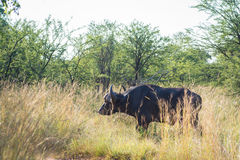 Kaapbuffels in de savanne Stock Afbeelding