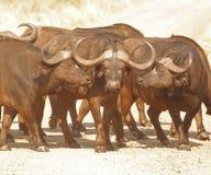 Kaapbuffels, drie amigo's stock foto