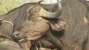 Kaapbuffels het kauwen stock footage