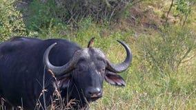 Kaapbuffels, het Nationale Park van Kruger, Zuid-Afrika royalty-vrije stock afbeeldingen