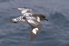 Kaapduif die over de zuidelijke oceaan op een zonnige dag vliegen Royalty-vrije Stock Foto's