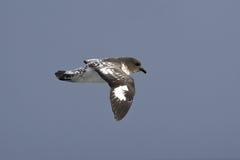 Kaapduif die over de zuidelijke oceaan op oudy dag vliegen Royalty-vrije Stock Foto's