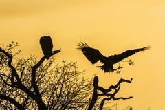 Kaapgier in het Nationale park van Kruger, Zuid-Afrika stock afbeeldingen