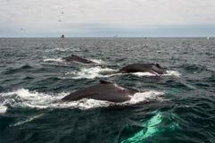 Kaapkabeljauw, walvis die in het overzees duiken Royalty-vrije Stock Fotografie