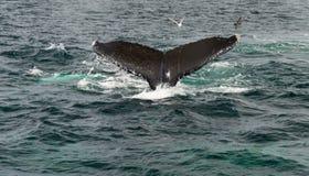 Kaapkabeljauw, walvis die in het overzees duiken Royalty-vrije Stock Foto