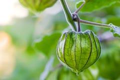 Kaapkruisbes op de boom in organische landbouwbedrijven stock afbeelding