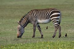 Kaapse Bergzebra, Cape Mountain Zebra, Equus zebra zebra royalty free stock photo