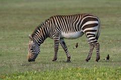 Kaapse Bergzebra, zebra de montanha do cabo, zebra da zebra do Equus foto de stock royalty free