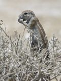 Kaapse grondeekhoorn, Cape Ground Squirrel, Xerus inauris royalty free stock image