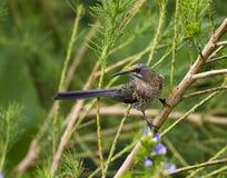 Kaapse Suikervogel, Cape Sugarbird, Promerops cafer stock image