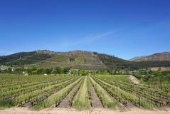 Kaapstad Wineyard op Bergachtergrond stock fotografie