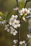 Kaart met de lentebloesem Royalty-vrije Stock Afbeeldingen