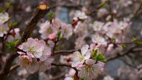 Kaart met de lentebloesem Royalty-vrije Stock Afbeelding