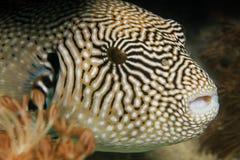 Kaart pufferfish Royalty-vrije Stock Fotografie