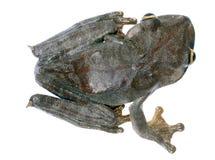 Kaart treefrog Royalty-vrije Stock Afbeeldingen