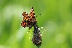 Kaartvlinder op een bloem royalty-vrije stock foto's