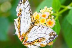 Kaartvlinder op gele bloem Stock Foto